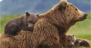 GRIZZLY : les petits ours bruns