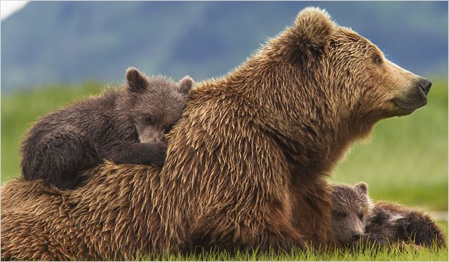 GRIZZLY - image du film Disneynature - Go with the Blog