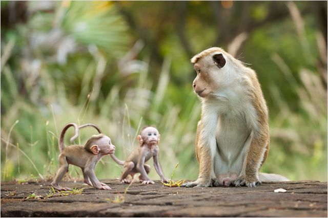 AU ROYAUME DES SINGES - Image du film 4 DIsneyNature 2015 - Go with the Blog